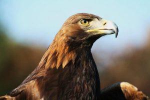 Der Adler. Ein Raubvogel.